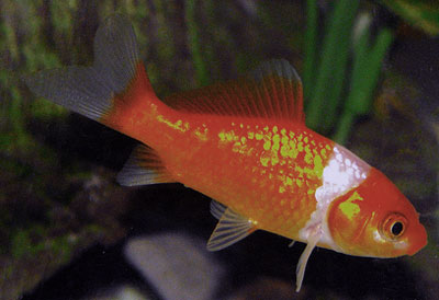 a common goldfish