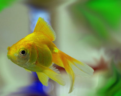 a beautiful fantail goldfish
