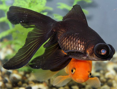 a beautiful black moor goldfish