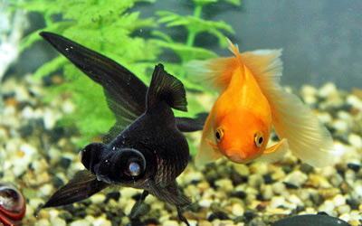 black moor and fantail goldfish