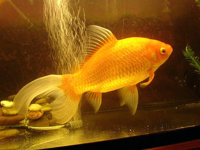 what do goldfish eggs look like in a fish tank. First two original goldfish
