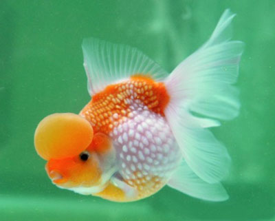 goldfish. crown pearlscale goldfish