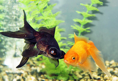 two goldfish - a fantail and blackmoor