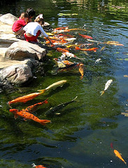 feeding pond fish