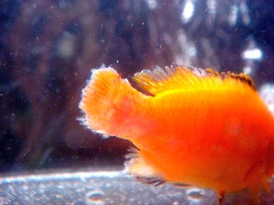 Image Result For Goldfish Tail Rot