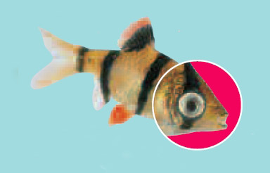 fish pop eye