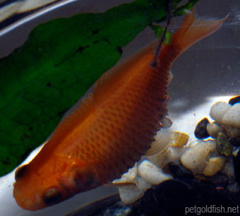 GoldFish dropsy pinecone