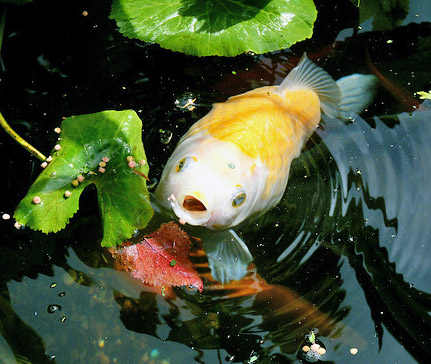 a feeding goldfish