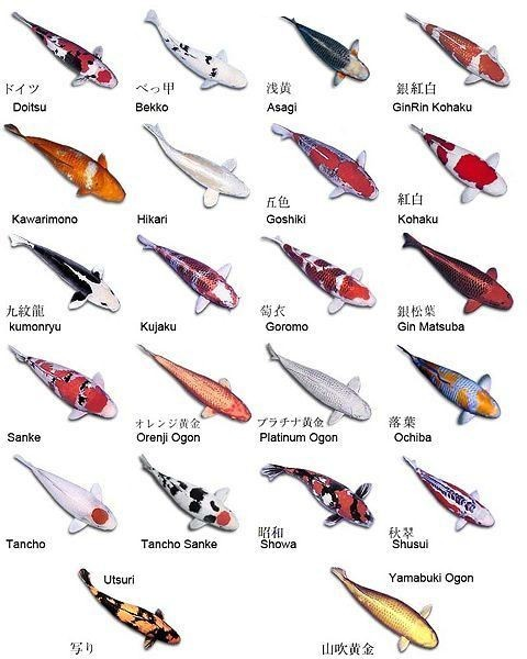 Koi varieties for Koi carp varieties