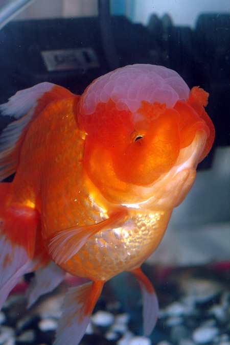 White oranda goldfish - photo#20