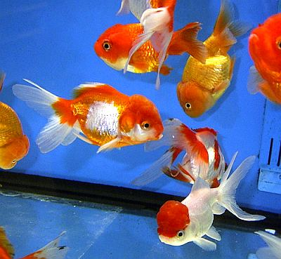 Pinterest the world s catalog of ideas for Aquarium pour poisson rouge