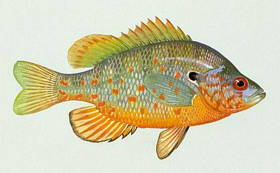 orange spotted sunfish goldfish