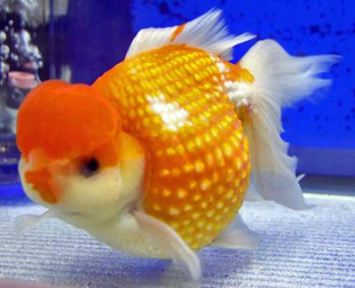 a close up view of pearlscale goldfish
