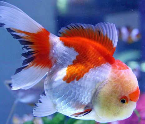 red white oranda goldfish