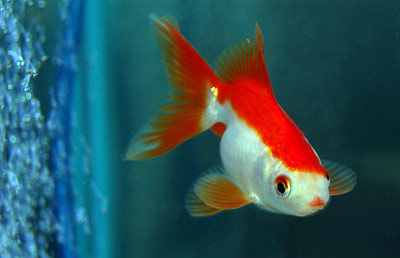 Red and white comet goldfish - photo#5