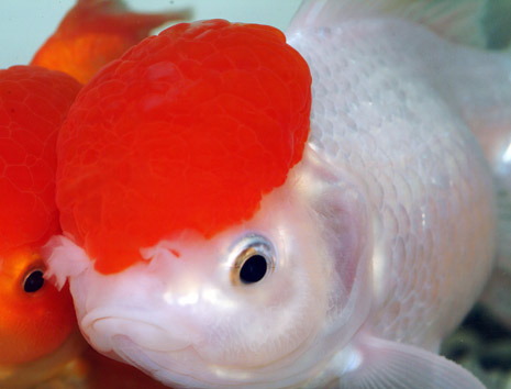 closeup view oranda goldfish