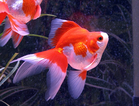 a red and white ryukin goldfish