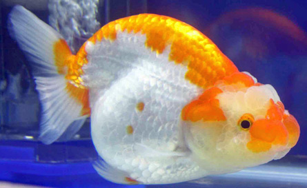 a side view of ranchu goldfish
