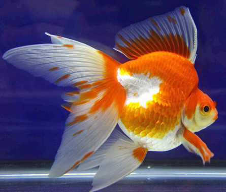 a nice looking white red ryukin goldfish