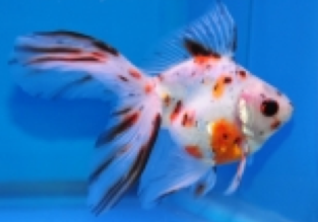 Goldfish pictures and gallery ryukin our digital camera for Fish pop eye