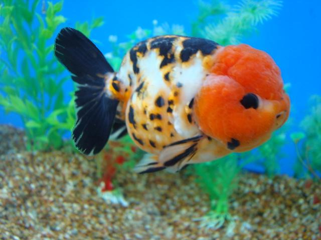 Goldfish Pictures and Gallery - Ranchu , Lionchu, and ...