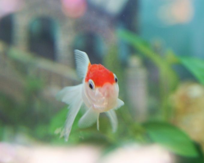 goldfish pictures and gallery   oranda img 8300