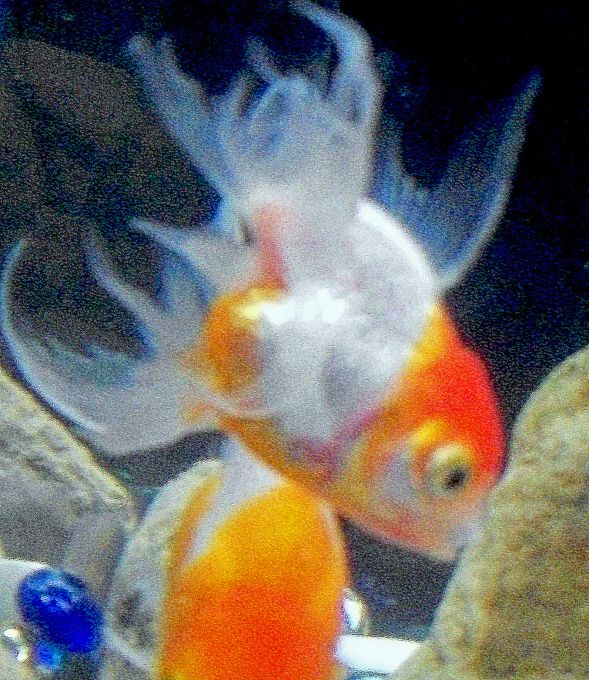 goldfish pictures and gallery   fantail 100 4248