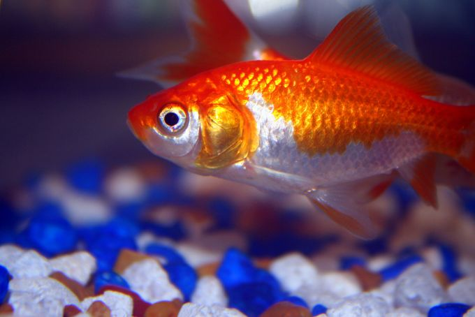 Goldfish pictures and gallery common and comet goldfish for Koi vs goldfish