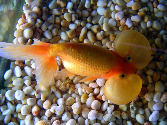 Goldfish pictures and gallery bubble eye bubble eye for Fish pop eye