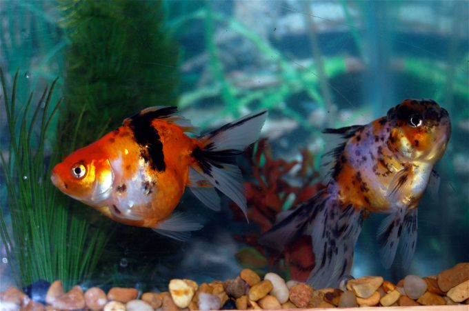 goldfish pictures and gallery   fantail fantail and calico