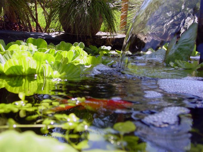 goldfish pictures and gallery   pictures goldfish pond