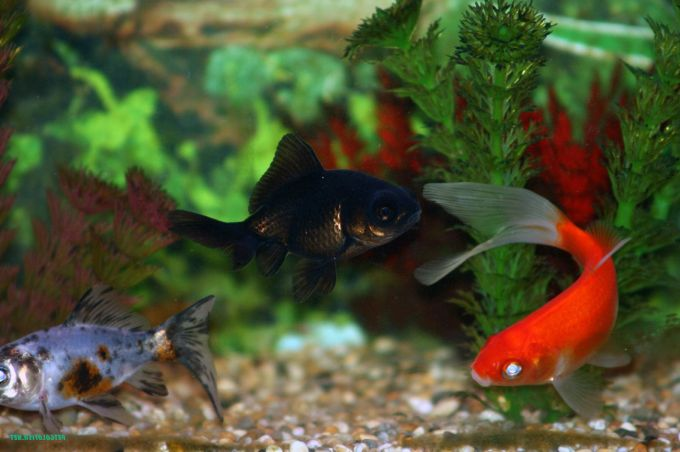 goldfish pictures and gallery   common and comet goldfish q2a