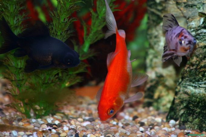 goldfish pictures and gallery   common and comet goldfish q3a
